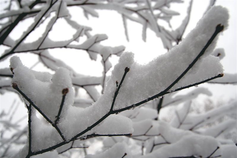 Snowy Japanese Maple